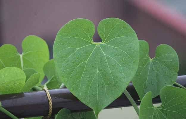 - giloy ke fayde in hindi - लाखों बिमारियों का इलाज है यह पौधा इसको सूंघने मात्र से ख़त्म हो जाते हैं कई रोग