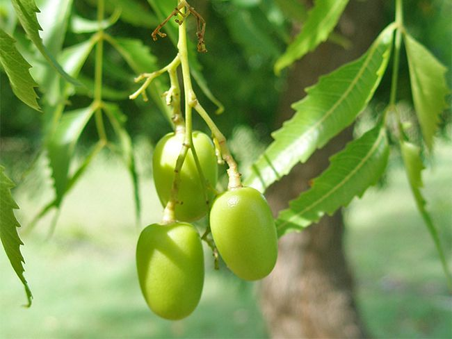 neem-fruit-and-seeds