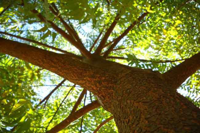 Image result for बोसवेलिया पेड़