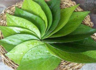 पान के पत्ते के फायदे betel leaf benefits in hindi
