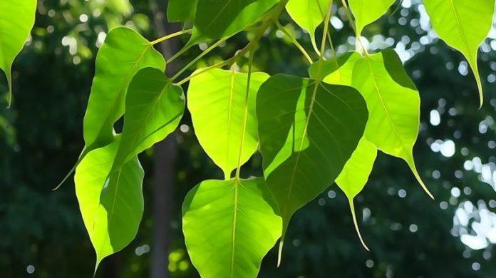 पीपल के फायदे peepal ke fayde in hindi